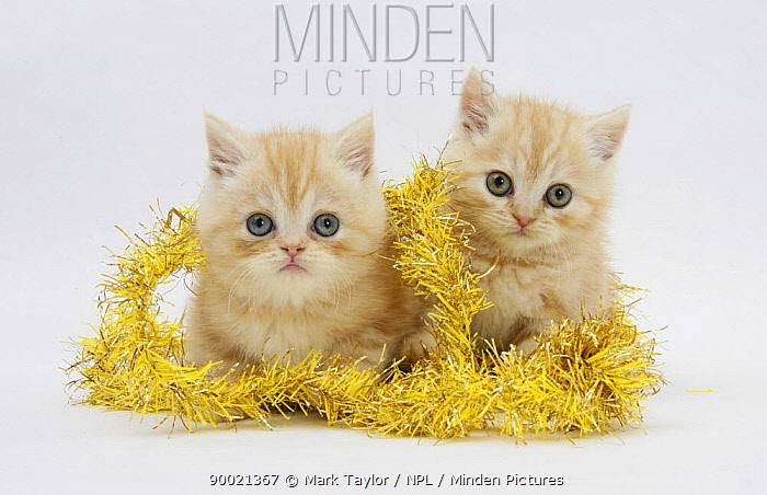 Domestic Cat (Felis catus) two Ginger kittens with gold christmas tinsel  -  Mark Taylor/ npl