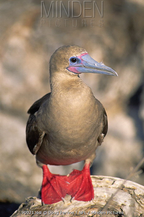 Red-footed Booby (Sula sula) Tower, Genovesa Is, Galapagos, Ecuador  -  Doug Perrine/ npl