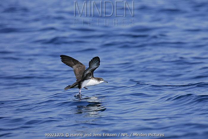 Persian shearwater (Puffinus persicus) in flight over sea, off Muscat, Oman  -  Hanne & Jens Eriksen/ npl