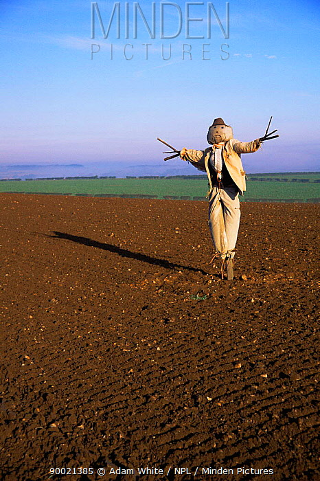 Scarecrow in ploughed field, Norfolk, UK, October 1998  -  Adam White/ npl