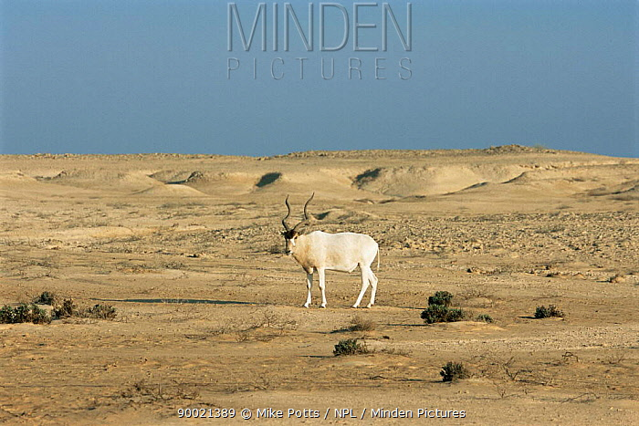 Addax (Addax nasomaculatus) endangered, Hawar Is, Bahrain  -  Mike Potts/ npl