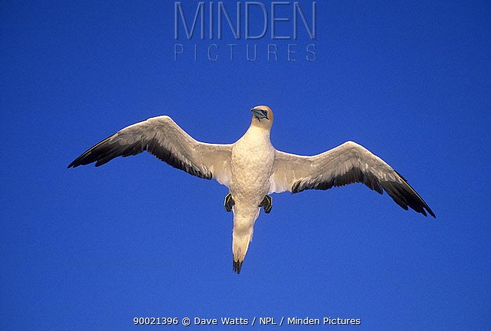 Australian Gannet (Morus serrator) flying Victoria, Australia  -  Dave Watts/ npl