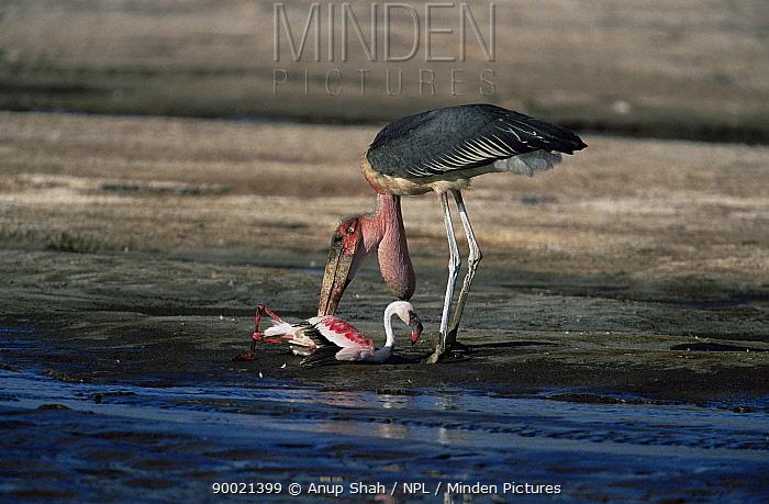 Marabou Stork (Leptoptilos crumeniferus) feeding on Lesser Flamingo (Phoeniconaias minor), Lake Bogoria, Kenya  -  Anup Shah/ npl