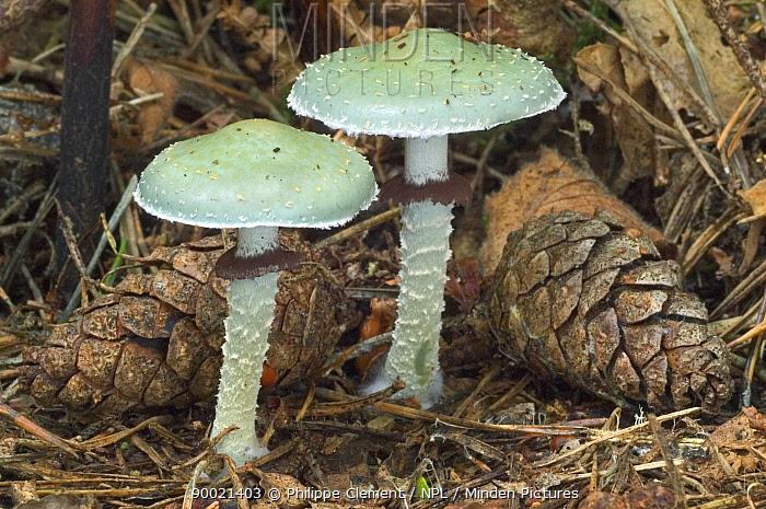 Verdigris toadstools (Stropharia aeruginosa) Belgium  -  Philippe Clement/ npl