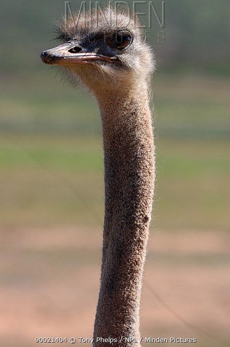 Ostrich (Struthio camelus) captive in ostrich farm, head neck portrait, South Africa  -  Tony Phelps/ npl