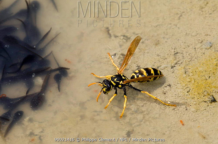 Wasp (Vespidae) drinking water in small pool filled with Tadpoles, Extremadura, Spain  -  Philippe Clement/ npl