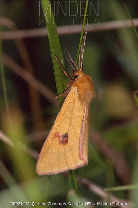Clouded buff moth (Diacisia sannio) Germany  -  Hans Christoph Kappel/ npl