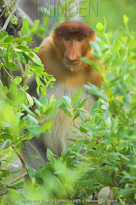 Proboscis Monkey (Nasalis larvatus) young male resting on mangroves Bako National Park, Sarawak, Borneo, Malaysia  -  Nick Garbutt/ npl