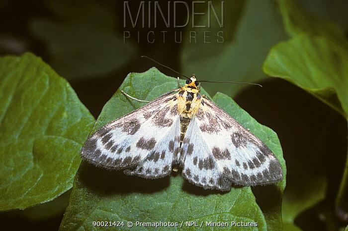 Small magpie moth (Eurrhypara hortulana) in a garden, UK  -  Premaphotos/ npl