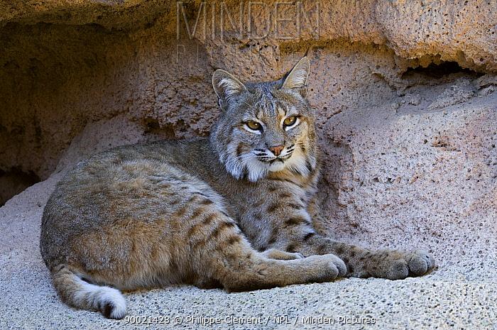 Bobcat (Lynx rufus) resting in cave Arizona  -  Philippe Clement/ npl