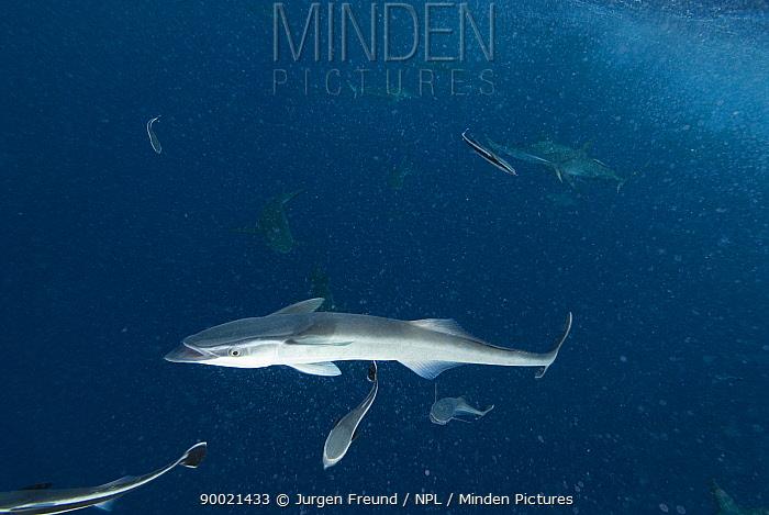 Sharksucker (Echeneis naucrates) and other fish, Queensland, Australia  -  Jurgen Freund/ npl