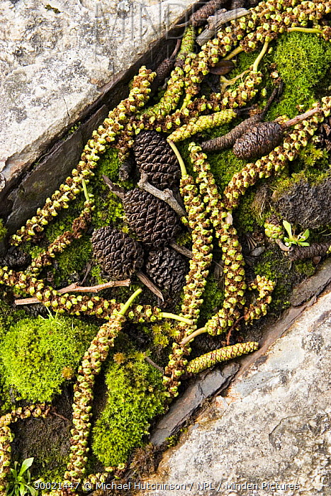 Italian Alder (Alnus cordata) catkins and cones with moss in concrete pavement gutter, Bristol, UK  -  Michael Hutchinson/ npl