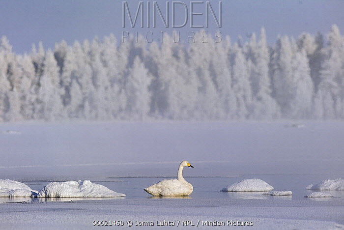 Whooper Swan (Cygnus cygnus) tries to overwinter in the arctic,, Finland  -  Jorma Luhta/ npl