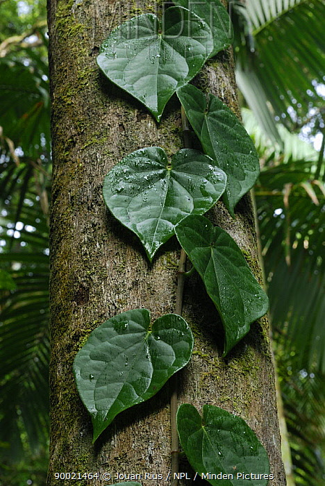Climbing plant growing up tree trunk in rainforest, Eungella National Park, Queensland, Australia  -  Jouan & Rius/ npl