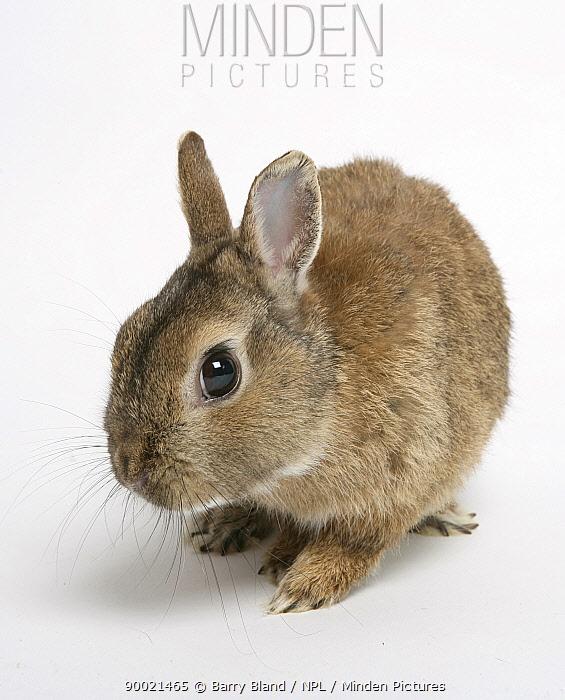 Dwarf Domestic Rabbit portrait  -  Barry Bland/ npl