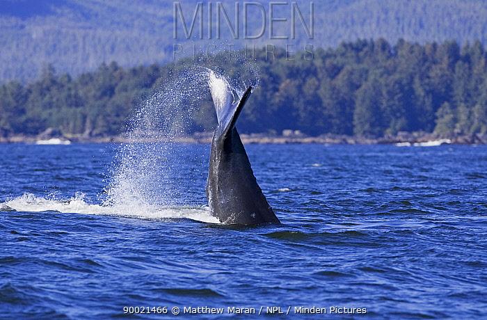 Humpback Whale (Megaptera novaeangliae) tail fluke Barkley Sound, Vancouver Island, BC, Canada  -  Matthew Maran/ npl