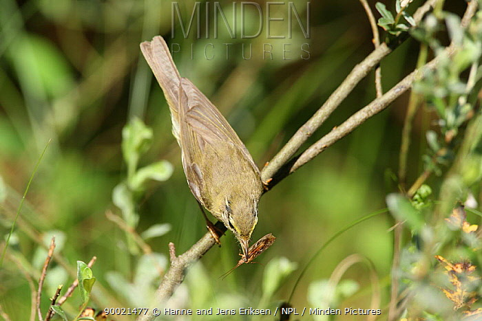 Willow Warbler (Phylloscopus trochilus) with insect in beak, Denmark  -  Hanne & Jens Eriksen/ npl