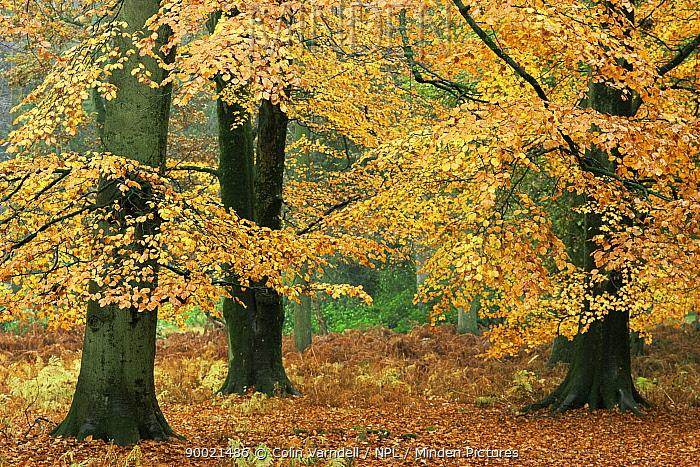 Beech trees in autumn (Fagus sylvatica) Dorset, England, UK  -  Colin Varndell/ npl