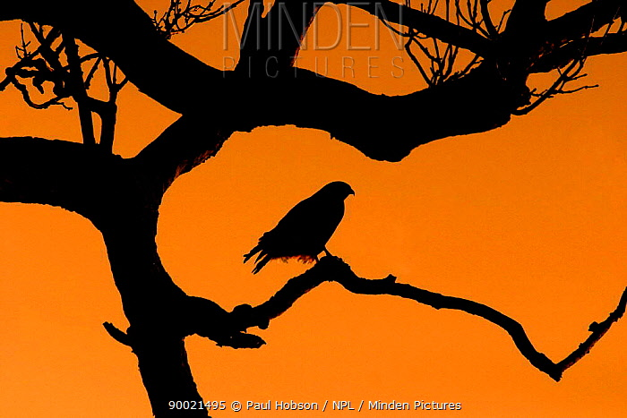 Common Buzzard (Buteo buteo) silhouette in tree at dawn, Lincolnshire, United Kingdom  -  Paul Hobson/ npl