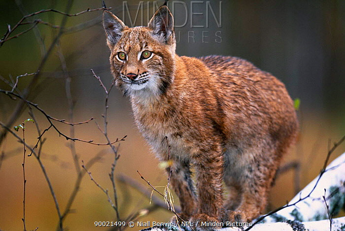 Eurasian Lynx (Lynx lynx) young male walking along fallen treeYoung male European lynx walking along fallen birch tree, Bohemia, Czech Republic  -  Niall Benvie/ npl
