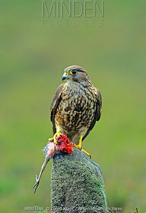 Merlin (Falco columbarius) Female with bird prey, Yorkshire, United Kingdom  -  David Kjaer/ npl