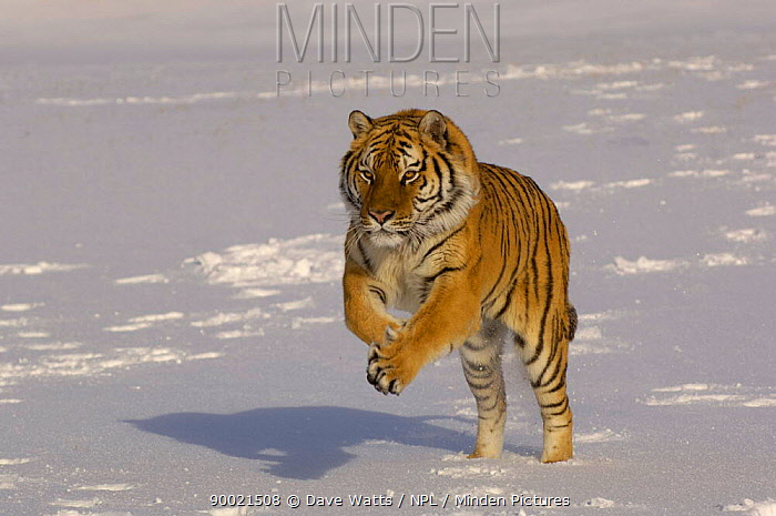 Siberian Tiger (Panthera tigris altaica) running in snow,  -  Dave Watts/ npl