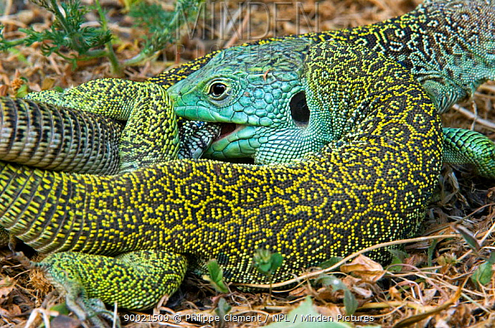 Eyed Lizard (Lacerta lepida) mating, with ear hole 'tympanum' visible, Extremadura, Spain  -  Philippe Clement/ npl