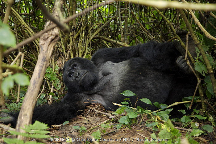 Mountain gorilla (Gorilla gorilla berengei) resting in the Bwindi Impenetrable Forest, at an altitude of 1880m Uganda, Africa  -  Christophe Courteau/ npl