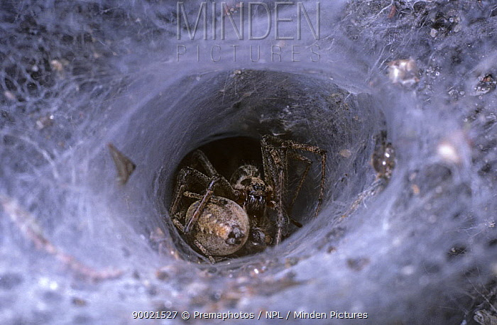 Labyrinth Spider (Agelena labyrinthica) mating at the mouth of the funnel in the female's web, United Kingdom  -  Premaphotos/ npl