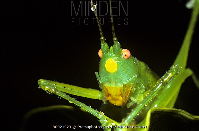 Katydid (Neoconocephalus sp) with a yellow, warning coloration spot on its face, Trinidad  -  Premaphotos/ npl