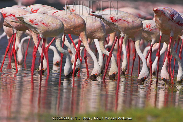 Lesser flamingo (Phoeniconaias minor) feeding, Lake Nakuru NP, Kenya  -  T.J. Rich/ npl