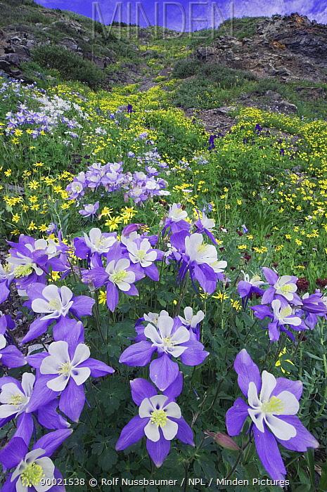 Wildflowers in alpine meadow, Blue, Colorado Columbine (Aquilegia coerulea), Heartleaf Arnica (Arnica cordifolia) Ouray, San Juan Mountains, Rocky Mountains, Colorado, USA, July 2007  -  Rolf Nussbaumer/ npl