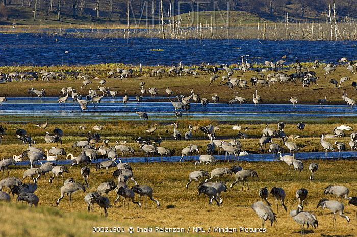 Common Crane (Grus grus) flock, Hornborgasj�n Lake, Sweden  -  Inaki Relanzon/ npl
