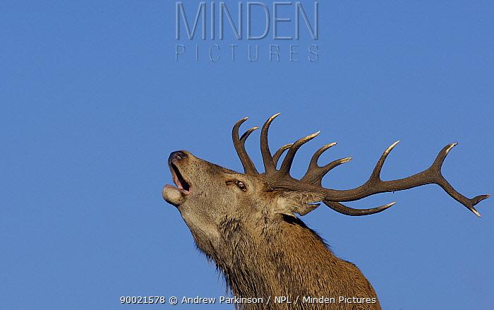 Red deer (Cervus elaphus) adult stag roaring during the October rut, Leicestershire, UK  -  Andrew Parkinson/ npl
