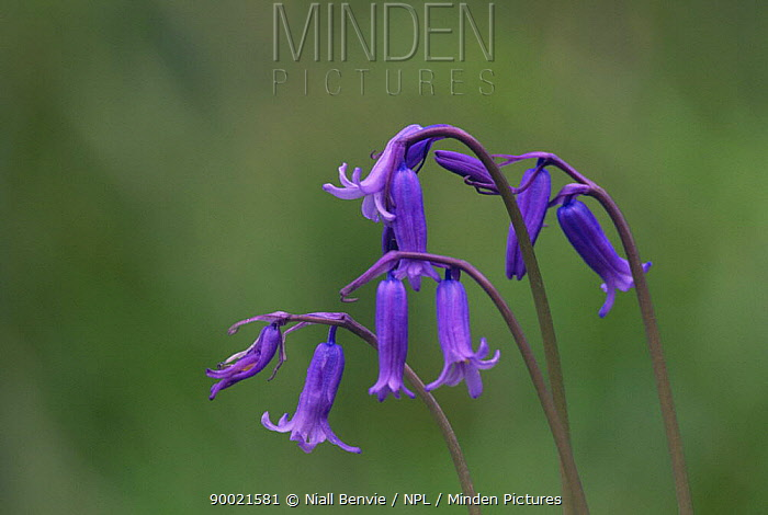 Bluebell (Endymion nonscriptus) flower heads, Scotland  -  Niall Benvie/ npl