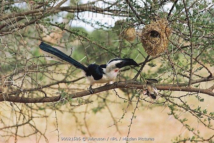 Von der Decken's Hornbill (Tockus deckeni) with Quela chick taken from nest, Tsavo East National Park, Kenya  -  Jabruson/ npl