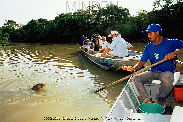 Giant River Otter (Pteronura brasiliensis) watched by tourists Pixaim river, Pantanal Brazil  -  Luiz Claudio Marigo/ npl