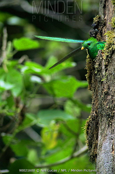 Resplendent Quetzal (Pharomachrus mocinno) in nest hole, head and tail feathers visible, cloud forest, Costa Rica  -  Neil Lucas/ npl