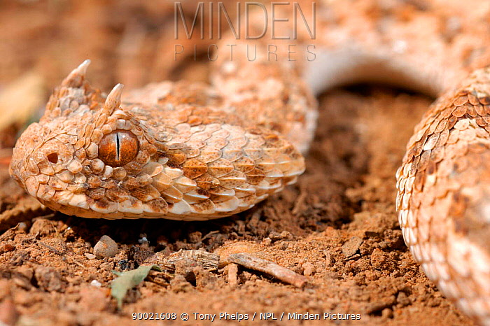 Horned Adder (Bitis caudalis) South Africa  -  Tony Phelps/ npl