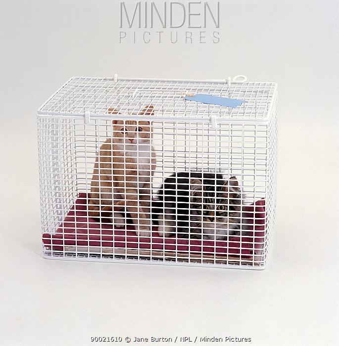 Domestic Cat (Felis catus) Two kittens in cat-carrier  -  Jane Burton/ npl
