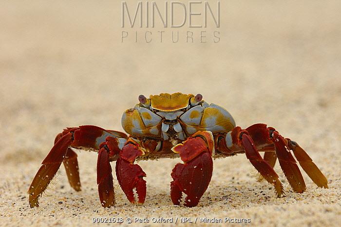 Sally Lightfoot Crab (Grapsus grapsus) Cerro Dragon, Dragon Hill, Isabela Is, Galapagos, Ecuador  -  Pete Oxford/ npl