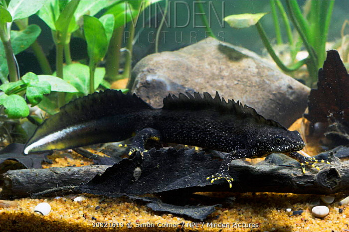 Great Crested Newt (Triturus cristatus) male in breeding colours,  -  Simon Colmer/ npl