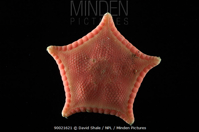 Sea star (Ceramaster granularis) dorsal view, benthic, Barents sea, Northern Europe  -  David Shale/ npl