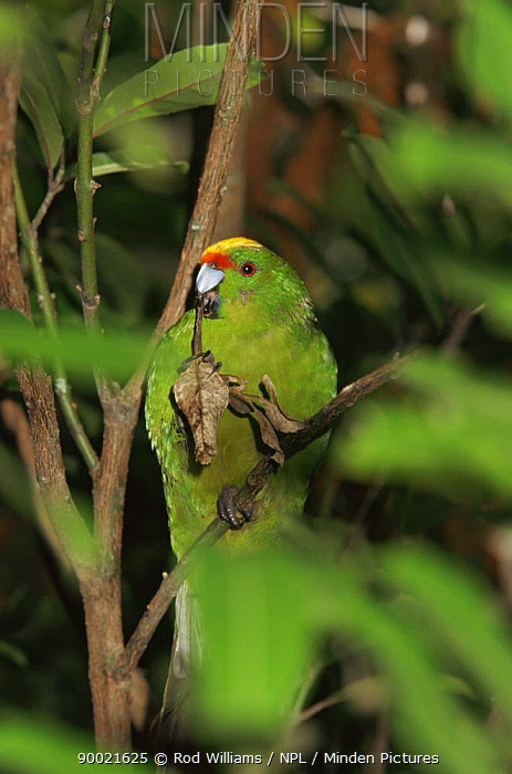 Yellow crowned, fronted parakeet (Cyanoramphus auriceps), from Stewart Is, New Zealand  -  Rod Williams/ npl