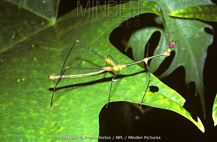 Stick grasshopper (Apioscelis bulbosa) male in rainforest, Peru  -  Premaphotos/ npl