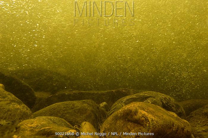 Underwater landscape in Bua, Gaula river tributary, Norway, July  -  Michel Roggo/ npl
