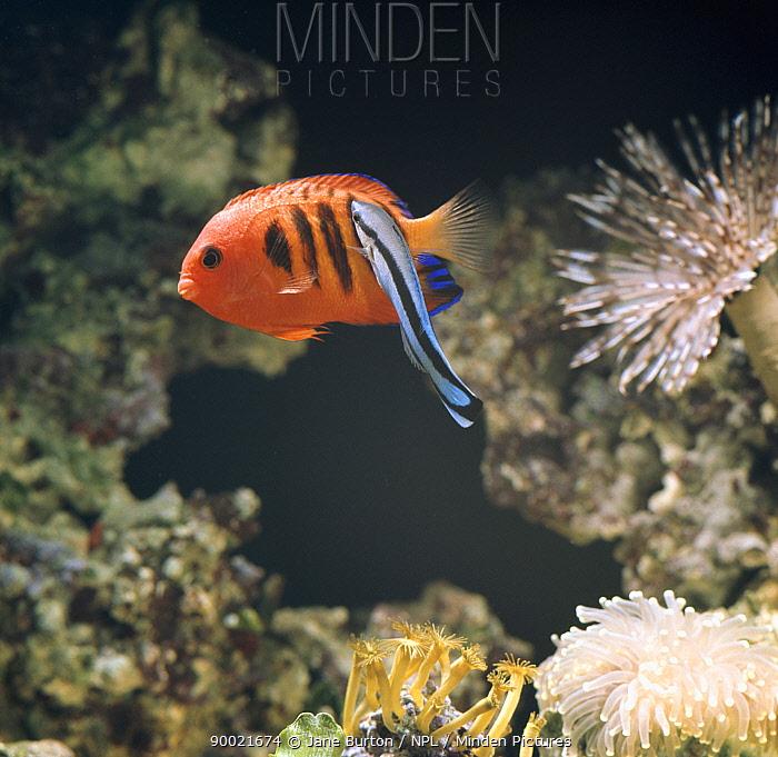 Blue-streaked Cleaner Wrasse (Labroides dimidiatus) cleaning Flame dwarf angelfish (Centropyge loriculus)  -  Jane Burton/ npl