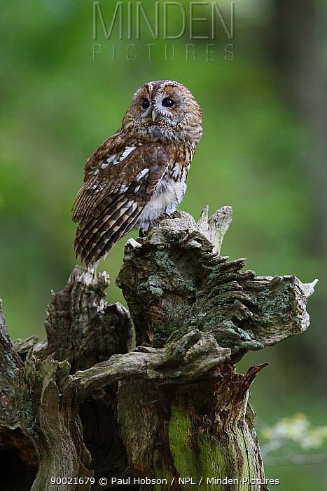 Tawny Owl (Strix aluco) perched on stump, Derbyshire, United Kingdom  -  Paul Hobson/ npl