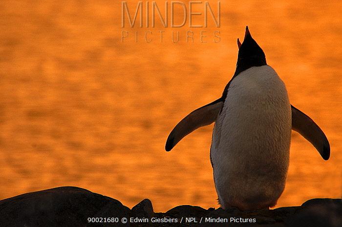 Gentoo Penguin (Pygoscelis papua) silhouetted at sunset, calling, Antarctica  -  Edwin Giesbers/ npl