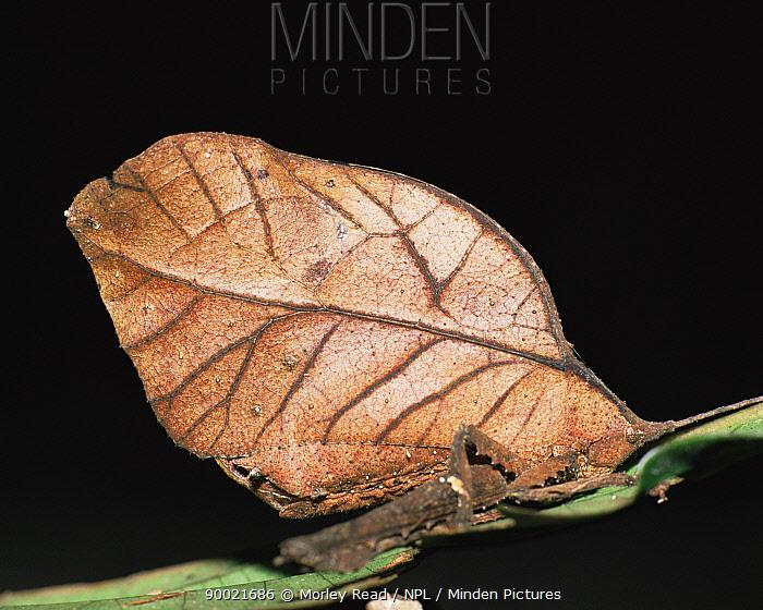 Katydid (Tettigoniidae) Amazonia, Ecuador  -  Morley Read/ npl